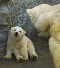 Mother's Love: Magical Photos Of Polar Bear Cubs Playing With Their Moms - World's largest collection of cat memes and other animals Bear Pictures, Cute Animal Pictures, Baby Polar Bears, Grizzly Bears, Love Bear, Cute Baby Animals, Wild Animals, Brown Bear, Animals Beautiful