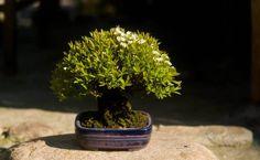 Shohin-bonsai, Spiraea cinera `Grefsheim. Height: 13 cm, pot by Takao-Koyo, Japan.