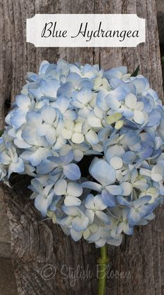 Blue Hydrangea - Hydrangea - symbolizes heartfelt emotions. It can be used to express gratitude for being understood.