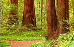 12 Fall Marathons you should run- like this one that takes place among the giant redwoods!
