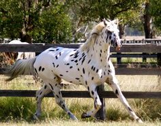 Sartor's Supermodel (imp Denmark) - Australia - Knabstrupper stallion at stud