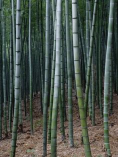 China, Zhejiang Province, Anji, Bamboo forest