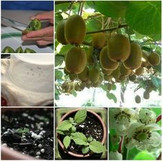 How to Grow a Kiwi Plant from Seed