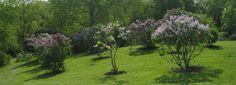 Lilac Dell, Royal Botanical Gardens, Hamilton Ontario.