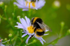 The buzz and the bees: Flowers use electrical fields to communicate with insects… with voltage indicating pollen levels