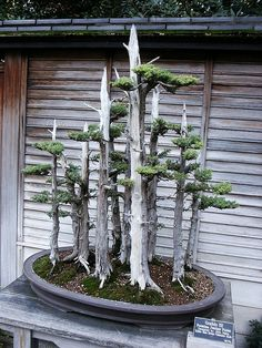 A Bonsai forest.