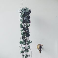 Also known as Rosary Vine or Ceropegia Woodii this charming trailing succulent, native to South Africa, Swaziland and Zimbabwe, loves a lot of light and flowers equisite purple petals. The plant comes potted in white plastic hanging planter as pictured.