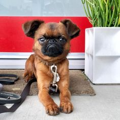 14 Adorable Photos of Brussels Griffon Dogs to Brighten Your Day Cute Dogs Breeds, Dog Breeds, Cute Puppies, Dogs And Puppies, Doggies, Puggle Puppies, Puppys, Brussels Griffon Puppies, Funny Looking Dogs
