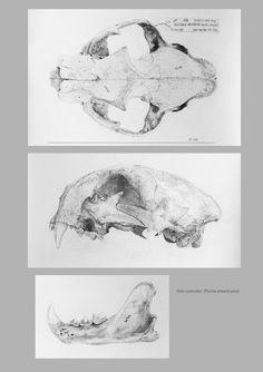 IL·LUSTRACIÈNCIA: Craneo Felis concolor - Marta de la Sota Cores