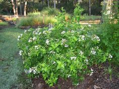 """""""White Mistflower is a solid choice in any Texas native plants Xeriscape. This shrub is a low hassle option that will work great both in full sun and part shade. Native to Mexico, West and Central Texas as well, this perennial requires only about 25 inches of rain annually. Clusters of bold white flowers will appear in the fall. White mistflower works well both as a single specimen or planted in clusters. Butterflies and Humming birds love to feast on those late blooming flowers and will make th"""
