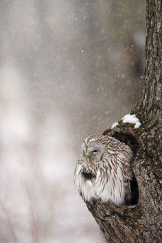 Chilly owl
