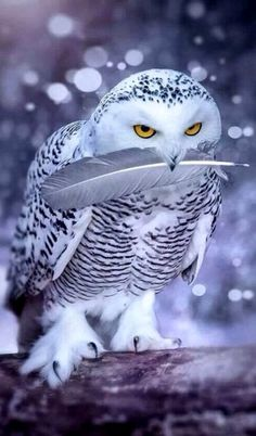 "Great Snowy Owl presenting a feather. Throughout human history, owls have variously symbolized dread, knowledge, wisdom, death, and religious beliefs in a spirit world. Understanding historical and current ways in which owls are viewed, and not imposing Western views on other cultures, is an important and necessary context for crafting owl conservation approaches...""I am a brother to dragons, and a companion to owls."" Job 30: 29"