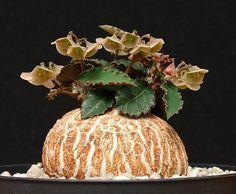 Euphorbia suzannae-marnierae                                                                                                                                                                                 More