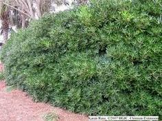 pittosporum tenuifolium hedge - privacy barrier behind fireplace on fence line