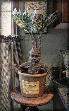 Mandrake plants!