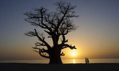size: Photographic Print: Baobab Tree and Couple Walking, Sine Saloum Delta, Senegal, West Africa, Africa by Robert Harding : Artists Avatar Movie, Baobab Tree, West Africa, Trees To Plant, Framed Artwork, Find Art, Art Projects, Flowers
