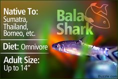 The bala shark is definitely not the kind of shark that would scare you and cause terror in your mind. This small-sized fish is often kept in aquariums. This PetPonder post lists some facts associated with this freshwater fish. Shark Facts, Keep Swimming, Shark Week, Freshwater Fish, Borneo, Fish Tank, Pets, Animals, Fishbowl