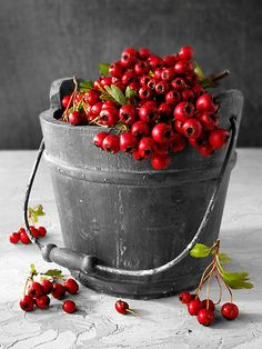Photos of Hawthorn Berry or haw Berries by award winning food photographer Paul Williams to download