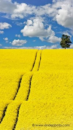 Grafton-Underwood, Northamptonshire, England, oil seed rape crop  Ande andephoto Ande Photo www.andephoto.com © Ande Wick (01705L)