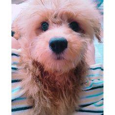 . かわいすぎて😩💗💗💗 こんな顔されたらなんでも許してしまう🐶💫 . . #トイプードル #チワワ #ミックス #プーチー #モコ #愛犬 #かわいい #癒し #カメラ目線 #親バカ