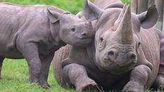 Baby rhino trying to get mom to play. Baby rhino trying to get mom to play. Cute Baby Animals, Animals And Pets, Funny Animals, Animals Images, Animal Pictures, Beautiful Creatures, Animals Beautiful, Rhino Tattoo, Animals Tattoo