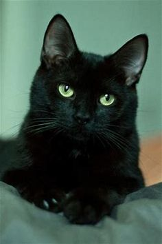 Image result for black cat beautiful