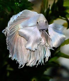 Yet another gorgeous better betta fish! Such a lovely blend of pastels! I want him!