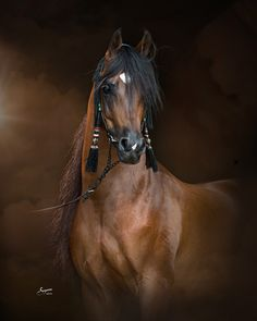 Majestico (Marwan Al Shaqab x La Vida Lloca) 2008 Bay Stallion