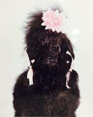 Black Poodle Glam Dog Art Print ~ Ready To Hang Picture~ 50x60cm $46.00 www.wallartroad.com.au #wallartroad #animals
