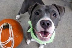 SAFE❤️❤️ 11/8/16 BY CAT ASSISTANCE❤️ THANK YOU❤️ LENOX - A1095204 - - Manhattan Please Share:TO BE DESTROYED 11/08/16 A volunteer writes: Lenox joins us as her person lost her home, and comes with an outstanding resume. We're told she's friendly and playful with strangers (check), is playful with kids of all ages, lived and played well with another Pit Bull, doesn't guard her things, loves to play with toys and play chase, is housetrained, and will go into the garbage if it's not put away…