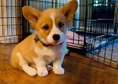 corgi - What did I do?  What ever it was, I got locked in this cage.  I want to know what I did, so I don't do it again.