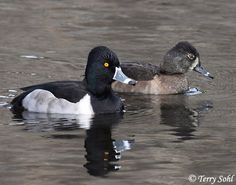 Ring-necked Duck, male and female.  Diving duck; males have black head, light gray sides, white stripes on beak; female is chocolate brown, white cheeks and white at base of bill.  Nesting area, entire Northern boundary of United States to Nova Scotia, Labrador, British Columbia and Great Slave Lake