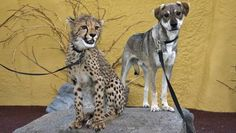 The San Diego Zoo pairs the endangered cats with canine companions, proving that cats and dogs really can get along.
