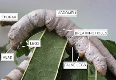 Parts of the silkworm