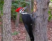 piliated woodpecker - Shuggs protected flying varment