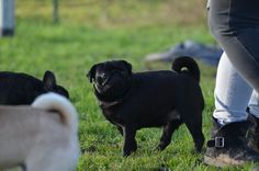 Wonder Pug Destiny