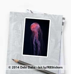 This striking sticker features a photo of a red-striped pink jellyfish floating in a sea of black with its long tentacles hanging down. http://www.redbubble.com/people/debidalio/works/12762006-strawberry-jelly?p=sticker #stationery #animals #sealife #photography #StudioDalio #Redbubble