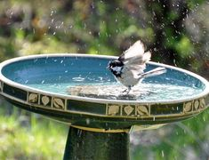 I have five birdbaths out this spring for the birds! Here's just some of the activity I've had at them. Couples bath Hey, no arguing in the bath!! Gettin' clean Black-capped Chickadee Rose-breasted Grosbeak Migrating White-crowned Sparrow Looks like water...