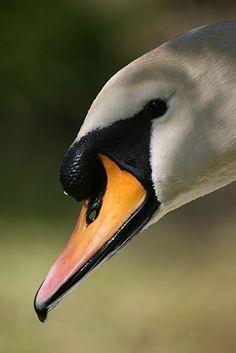 "natures-paintbox: "" Swan (via Pinterest) """