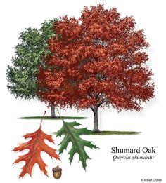 Shumard Oak Tree Love Trees Shrubs Shrubs Florida Trees