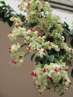 Lagrima De Cristo | ... Fascinante: Clerodendron Thomsoniae...vulgo Lágrima de Cristo