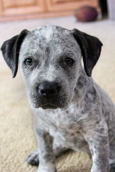 Australian Cattle Dog Queensland Blue Heeler Puppy Dogs