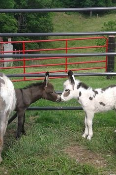 ~ 2015 This is the sweetheart of donkey photos! Baby Donkey, Cute Donkey, Mini Donkey, Donkey Donkey, Cute Baby Animals, Animals And Pets, Funny Animals, Farm Animals, Miniature Donkey