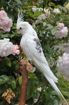 Rare Birds, Exotic Birds, Colorful Birds, Exotic Pets, Pretty Birds, Beautiful Birds, Animals Beautiful, Animals And Pets, Baby Animals