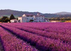 Violet Lavender Fields in Provence, France