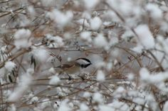One of my favorites of the Black-capped Chickadee <3 Tammy Taylor-Kosiba's Photography 2012