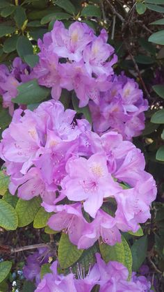 Flowers, Rhododendron, Plants