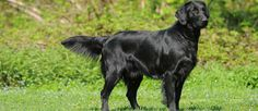 Flat Coated Retriever dog breed description and characteristics Puppies For Sale, Dogs And Puppies, Hyperactive Dog, Unusual Dog Breeds, Dog Breeds Pictures, Flat Coated Retriever, Companion Dog, Dog Activities, Therapy Dogs