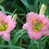 Chorus Line Daylily Scape height: 20 inches Bloom size: 3.5 inches Bloom time: Early Plant Traits: Extended Bloom Rebloom Rust Resistance: Shows Susceptibility Rust Resistance Decimal Score: 3.7
