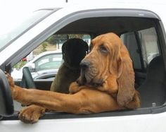 Bloodhound in charge. I seriously want one of these dogs. The Bloodhound Gang, Bloodhound Puppies, Bullmastiff, Cute Puppies, Cute Dogs, Dogs And Puppies, Funny Dogs, Funny Animals, Cute Animals